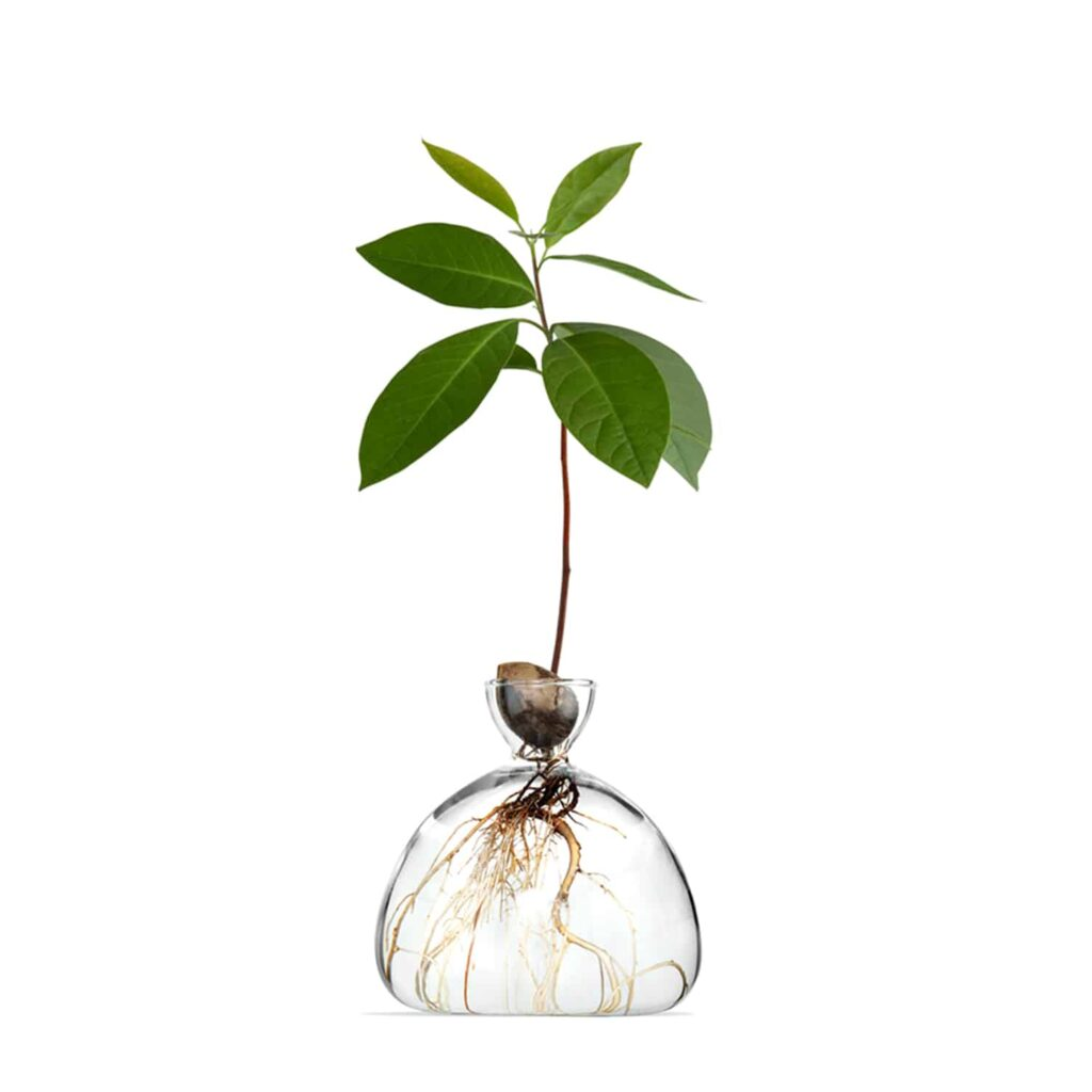 Avocado in vase at first stage of growing.