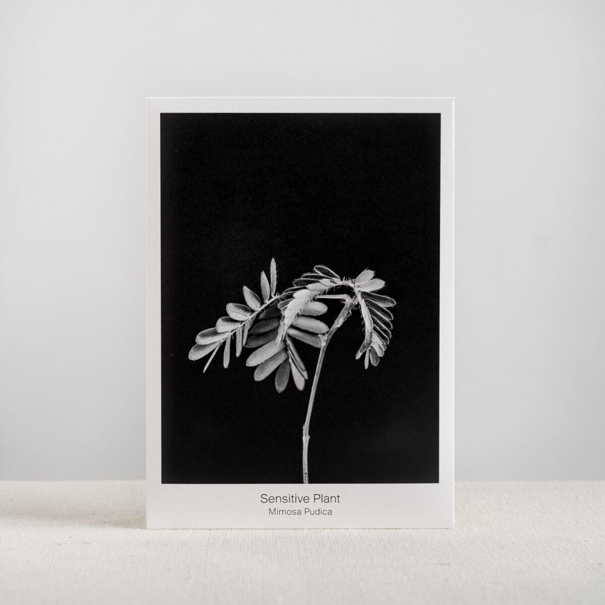 Graen-Studios-Product-Image-Mimosa-Pudica-Seed-Packet.jpg